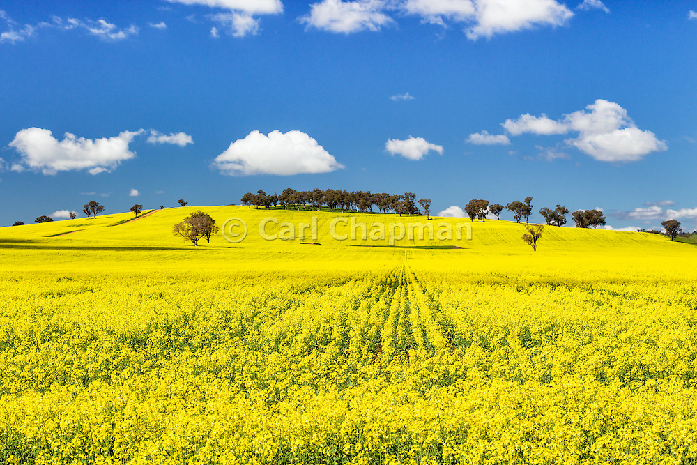 trees on hill in a field of flowering canola crop under blue sky and cumulus cloud at Woodstock, New South Wales, Australia. <br /> <br /> Editions:- Open Edition Print / Stock Image
