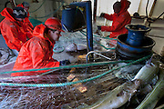 Icelandic cod fishermen haul in gill nets that have been set out and left overnight near the small port of Sandgerdi on the western side of the Reykjanes peninsula, Iceland. Although their craft is small, their large nets are mechanized. They monitor the casting then drink coffee and eat bread and fruit in the boat's galley until it's time to  haul in the bounty. They clean the fish in the belly of the ship, toss the guts, and then, after repeating this cycle many times for 8 hours, head for port. The fishermen take a fish or two home each day, along with their pay.