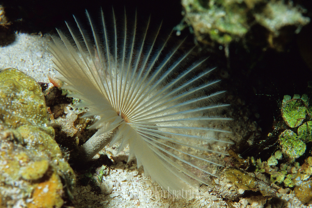 Feather Duster Worm (Bispira sp.)spreads its feathery tentacles for filter feeding - Grand Cayman B.W.I.