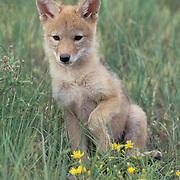 Coyote, (Canis latrans) Portrait of pup. Rocky mountains. Montana  Captive Animal.