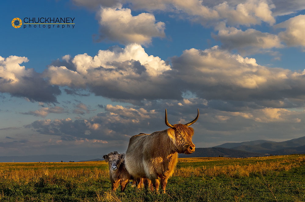 Scottish Highland cow with calf in the Flathead Valley, Montana, USA