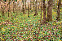 This forest in Southern Georgia is known for having the largest population of trout lilies in the world. There are literally millions of them!