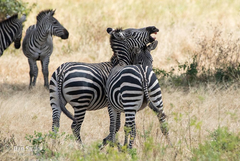 Male Grant's Zebras, Equus quagga boehmi, fight for dominance in Tarangire National Park, Tanzania