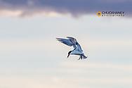 Common tern at Freezeout Lake WMA near Fairfield, Montana, USA