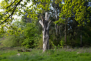 Dead tree in Highbury Park in the inner city area of Birmingham virtually deserted under Coronavirus lockdown on 4th May 2020 in Birmingham, England, United Kingdom. Coronavirus or Covid-19 is a new respiratory illness that has not previously been seen in humans. While much or Europe has been placed into lockdown, the UK government has put in place more stringent rules as part of their long term strategy, and in particular social distancing.