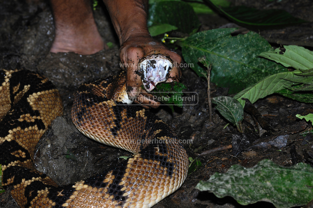 Ecuador, May 5 2010:  A South American bushmaster, Lachesis muta, is held after being captured near the Huaorani Ecolodge. Copyright 2010 Peter Horrell