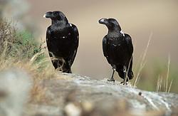 July 7, 2015 - White-necked Raven, Giants Castle national park, South Africa  (Credit Image: © Wisniewski, W/DPA/ZUMA Wire)