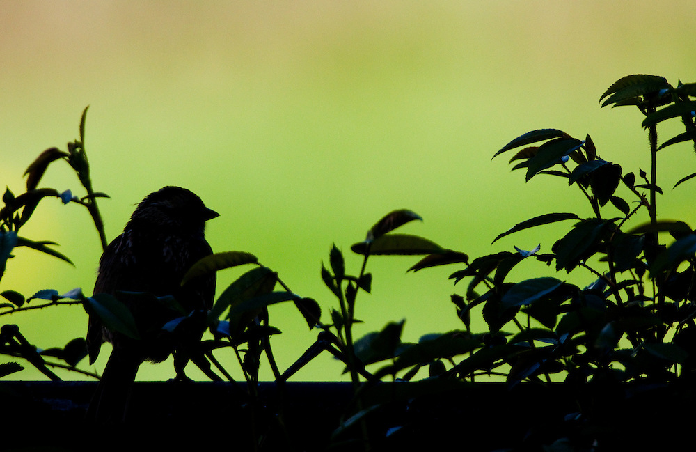 A common house finch silhouetted agains a bright background.