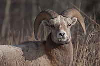 One of my favorite big animals of the Rocky Mountains is the Bighorn Sheep.  I took a drive west of Calgary along a route that I had never taken before and was lucky to find two large herds of sheep near Exsahw, Alberta...©2009, Sean Phillips.http://www.Sean-Phillips.com