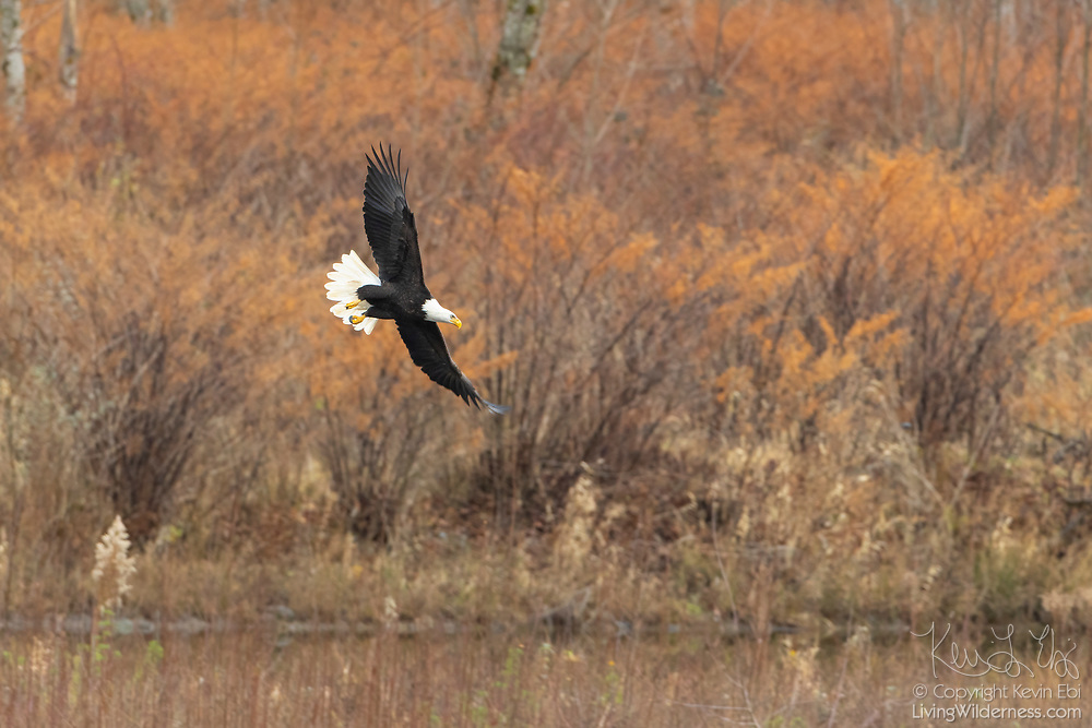 An adult bald eagle (Haliaeetus leucocephalus) flies low over a channel of the Nooksack River in Welcome, Washington. Hundreds of bald eagles winter in the area to feast on spawned-out salmon.