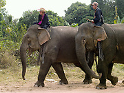Two mahouts (handlers) riding on the necks of their female Asian elephants who are also carrying chains around their necks at Sayaboury elephant festival, Sayaboury province, Lao PDR. Originally created by ElefantAsia in 2007, the 3-day elephant festival takes place in February in the province of Sayaboury with over 80,000 local and international people coming together to experience the grand procession of decorated elephants. It is now organised by the provincial government of Sayaboury.The Elephant Festival is designed to draw the public's attention to the condition of the endangered elephant, whilst acknowledging and celebrating the ancestral tradition of elephant domestication and the way of life chosen by the mahout. Laos was once known as the land of a million elephants but now there are fewer than 900 living in the country. Around 470 of them are in captivity, traditionally employed by a lucrative logging industry. Elephants are trained and worked by a mahout (handler) whose relationship to the animal is often described as a marriage and can last a lifetime. But captive elephants are often overworked and exhausted and as a consequence no longer breed. With only two elephants born for every ten that die, the Asian elephant, the sacred national emblem of Laos, is under serious threat of extinction.