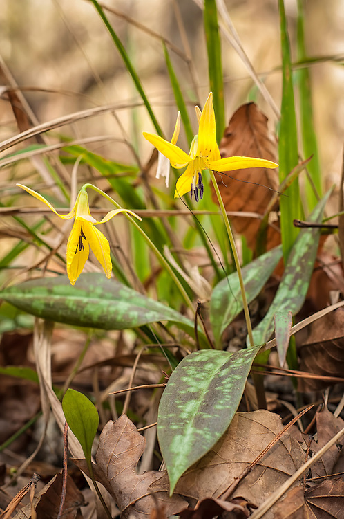 A perfect detail shot of a dimpled trout lily. easily recognized by their mottled leaves, they bloom in the wintertime in spectacular yellow carpets in old hardwood forests. This particular colony is not only extremely rare, it might be the only colony found in all of Florida in the wild, as this one was near the Alabama-Florida-Georgia tri-state line.