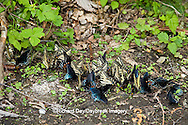 03845-00501 Pipevine Swallowtails & Eastern Tiger Swallowtails puddling, Tremont Area, Great Smoky Mountains NP, TN