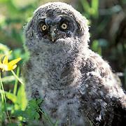 Great Gray Owl, (Strix nebulosa)  Fledgling among grasses near nest. Montana.
