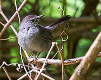 Gray Catbird. Image taken with a Nikon D3 camera and 200 mm f/2 lens.