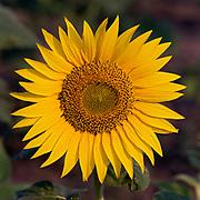 Common sunflower, India.