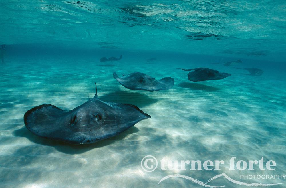 Sting Rays swim across the ocean floor, Sting Ray City, Grand Cayman, Cayman Islands