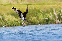 An osprey with a fresh fish harvest, the rainbow trout doesn't seem to thrilled with his dinner invite.