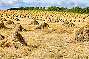 hay stacks gathered in fields near Burton Latimer, Northmaptonshire