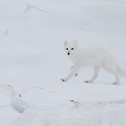 Arctic Fox on the hunt along the shores of Hudson Bay, Manitoba, Canada.