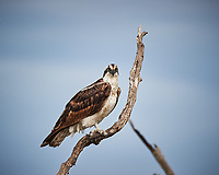 Osprey perched on a dead tree. Biolab Road, Merritt Island National Wildlife Refuge. Image taken with a Nikon D3s camera and 80-400 mm VR len (ISO 200, 400 mm, f/5.6, 1/1250 sec).