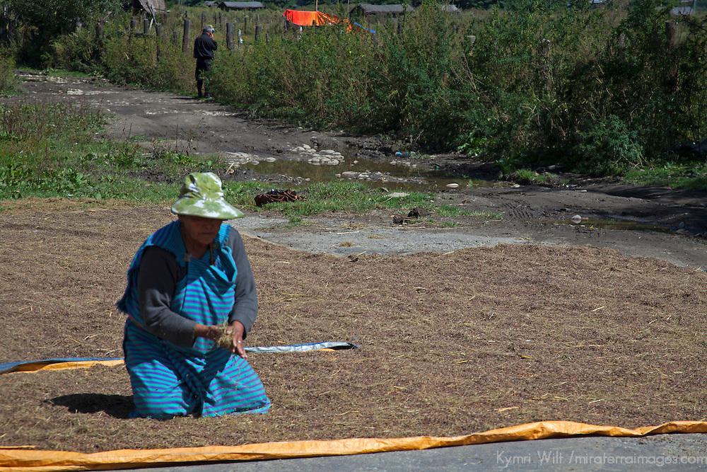 Asia, Bhutan, Bumthang. Spreading rice to dry in Bhutan.