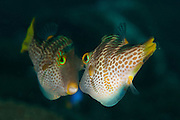 Valentini's Sharpnose Puffer, aka black-saddled toby: Canthigaster valentini, face to face in territorial behaviour, Tulamben, Bali