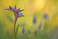 Tongue Orchid (Serapias lingua), Gargano National Park, Italy