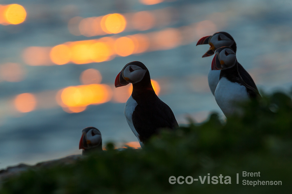 An Atlantic puffin (Fratercula arctica) peers up from the edge of the breeding cliff, against the setting sun, right on the Arctic Circle. Surrounded by other puffins, one of which is yawning. Grimsey, Iceland. July.