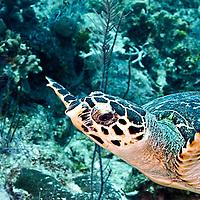 Hawksbill Turtle, Eretmochelys imbriocota, (Linnaeus, 1766), Grand Cayman