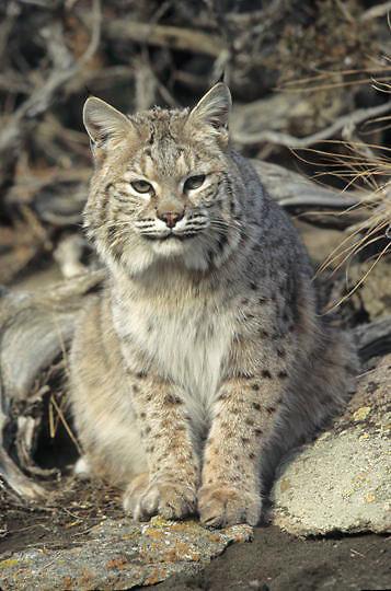 Bobcat, (Lynx rufus) Portrait. Rocky mountains. Montana.   Captive Animal.