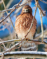 Red-shouldered Hawk (Buteo lineatus). Image taken with a Nikon D850 camera and 500 mm f/4 VR lens.