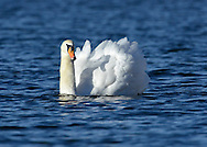 Mute Swan Cygnus olor L 150-160cm. Large, distinctive water bird and a familiar sight. Swimming birds hold long neck in an elegant curve. Family groups are a feature of lowland lakes in spring. Typically tolerant of people. In flight, shallow, powerful wingbeats produce and characteristic, throbbing whine. Sexes are similar but bill's basal knob is largest in males. Adult has white plumage although crown may have orange-buff suffusion. Bill is orange-red with black base. Juvenile has grubby grey-brown plumage and dull pinkish grey bill. Voice Mostly silent. Status Our commonest swan; the only resident species. Found on freshwater habitats besides which it nests; in winter, also on sheltered coasts.