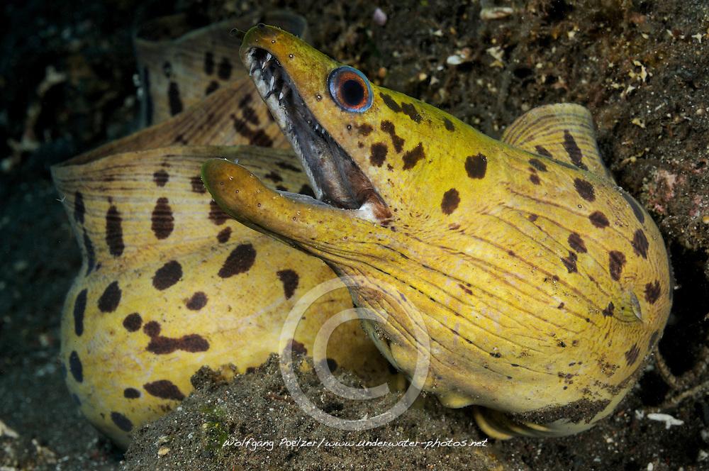 Gymnothorax fimbriatus, Gelbkopfmuraene, spot-face moray, Fimbriated moray, Tulamben, Bali, Indonesien, Indopazifik, Indonesia, Asien, Indo-Pacific Ocean, Asia