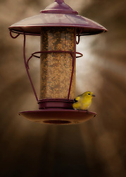 A goldfinch perched on a red feeder as evening light sets in
