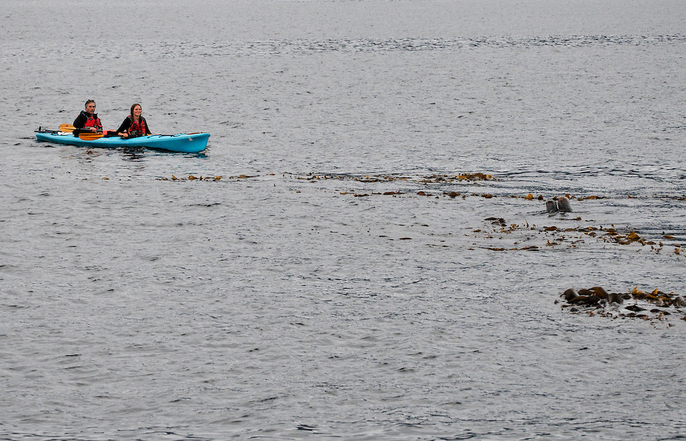 Two sea kayakers stop to view a couple seals in the water of the shore of Sikta, AK. Sept 6, 2009.