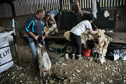 Sheep shearing season on 18th of June 2020, in Stow in the Scottish Borders, Scotland, United Kingdom. Carl and Craig working  flat-out, shearing sheep all day. They both got other farming jobs but during shearing seaon they take on shearing which takes skills.  Stewart Runciman has got 800 sheep and sheep shearing season is on. He keeps his sheep and lambs in the fields above Stow in the Scottish Borders but takes them inside at Muir House farm to have their wool cut. Wool and fleece was never a good business but with COVID-19 the price on wool has dropped and Stewart now loses up to 80p / sheep  but the shearing has to be done for animal welfare reasons.