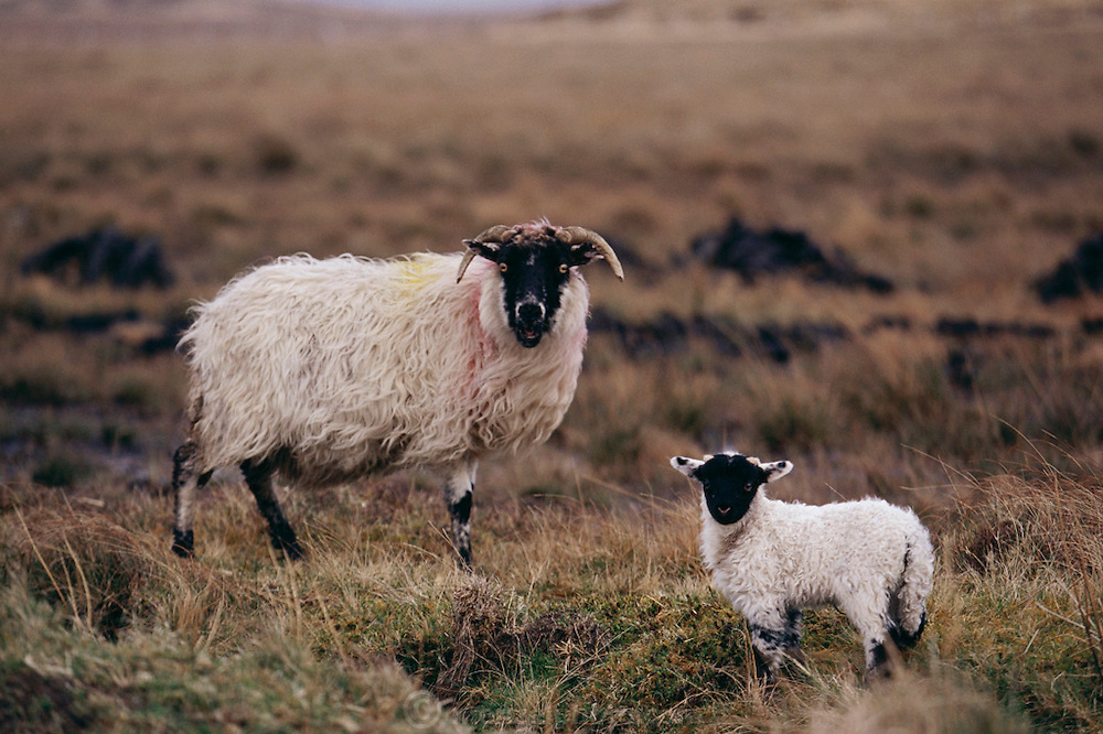 Adult and baby black-faced sheep gaze before grazing near Ballynahinch, West Ireland (Connemara). The mama sheep is marked with paint for identification of owner.