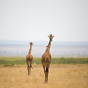 """In tandem, the two """"tallest living terrestrial"""" giraffe head into the sunset in Amboseli National Park, Kenya, Africa.<br /> <br /> *For all details about sizes, paper and pricing starting at $85, click """"Add to Cart"""" below."""