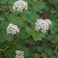 A Ninebark shrub (Physocarpus malvaceus) blooms in Montana's Boulder River Valley.