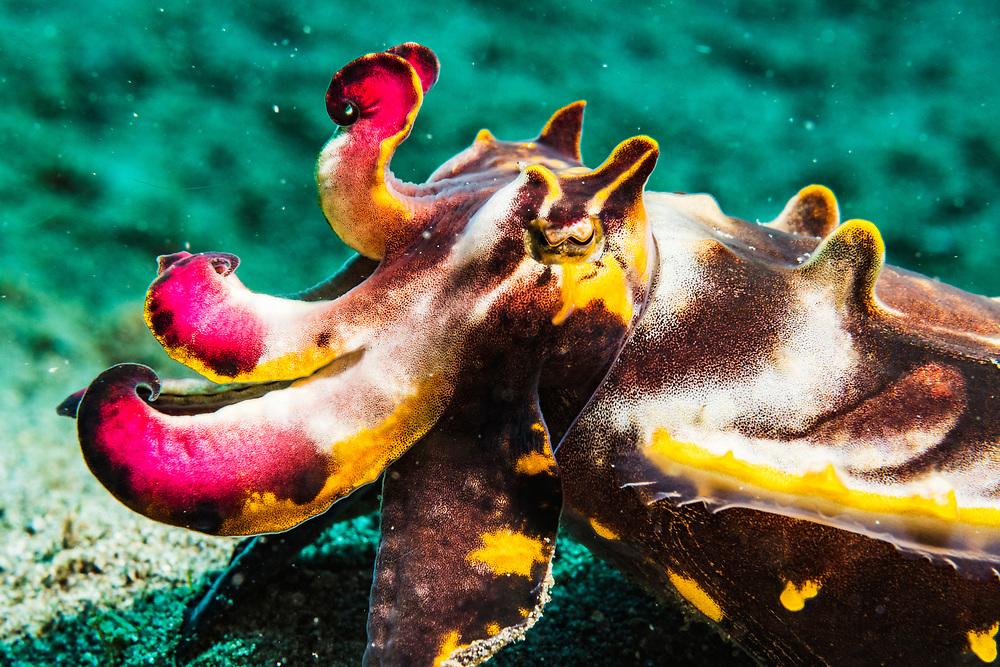A Flamboyant cuttlefish (Metasepia pfefferi) portrait made off Anilao, Philippines