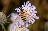 Hoverfly - Epistrophe grossulariae, female. Bedfordshire garden, Sept. 2012.
