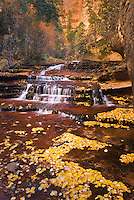 Fallen leaves gathered along the Left Fork of North Creek, Zion National Park Utah USA
