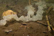 Yellow Perch Eggs<br /> <br /> Engbretson Underwater Photography