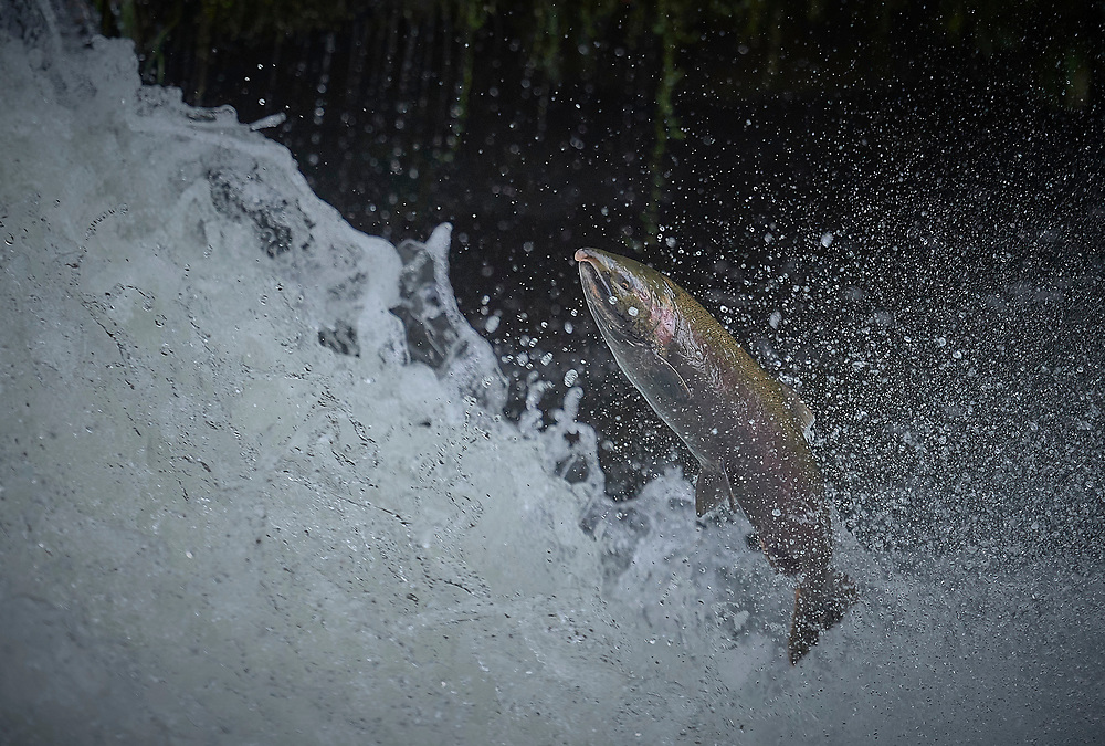 A migrating Coho salmon (Oncorhynchus kisutch) jumps up Lake Creek Falls on a tributary of the Siuslaw River in western Oregon.