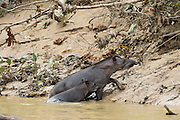 Brazilian Tapir (Tapirus terrestris) Mother & Baby on bank of Tiputini River<br /> Yasuni National Park, Amazon Rainforest<br /> ECUADOR. South America<br /> HABITAT & RANGE: Near water in the Amazon Rainforest and River Basin in South America, east of the Andes. Range stretches from Venezuela, Colombia, and Guianas in the north to Brazil, Argentina, and Paraguay, in the south, to Bolivia, Peru, and Ecuador in the West.<br /> IUCN CONSERVATION STATUS: Vulnerable