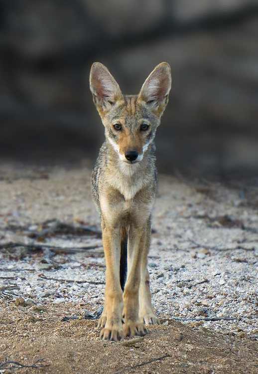 A young coyote stares at me with curiosity