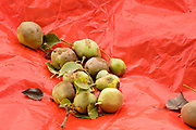 01 SEPTEMBER 2020 - ADEL, IOWA: Freshly picked pears on a tarp ready for packing. Volunteers from Eat Greater DSM gleaned pears at the Dallas County Human Services Campus. The pears will be distributed to Des Moines emergency pantries, community centers, and churches. Gleaning is the act of collecting leftover crops from farmers' fields after they have been commercially harvested or gathering crops from fields where it is not economically profitable to harvest. It is an ancient tradition first described in the Hebrew Bible. A spokesperson for Eat Greater DSM said need has skyrocketed this year. In a normal year, they distribute about 300,000 pounds of food. Since the start of the COVID-19 pandemic in March, they've distributed more than 500,000 pounds of food.        PHOTO BY JACK KURTZ