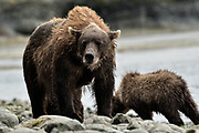 A brown bear sow known as Bearded Lady keeps a watchful eye as her cubs feed on salmon at the McNeil River State Game Sanctuary on the Kenai Peninsula, Alaska. The remote site is accessed only with a special permit and is the world's largest seasonal population of brown bears in their natural environment.