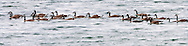 Canada Geese (Branta canadensis) on the Hood Canal of Puget Sound Washington state, USA
